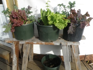 Three slug-free pots of greens.